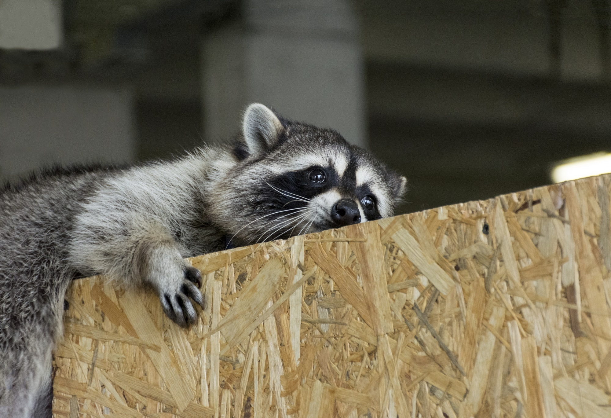 A racoon pest in a home attic may be a reason to call West Coast Junk for an attic clean out!